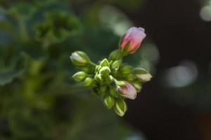 gros plan sur la floraison du géranium rose dans un jardin à madrid, espagne photo