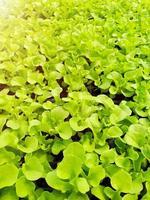gros plan d'une plantation de légumes à salade dans une maison verte dans une ferme biologique photo
