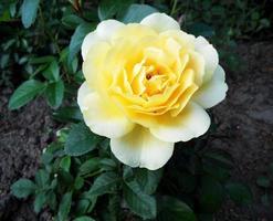 la photo colorée montre une fleur rose en fleurs