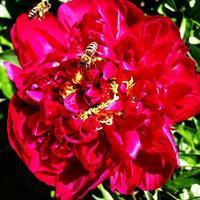 la photo colorée montre une pivoine fleurie
