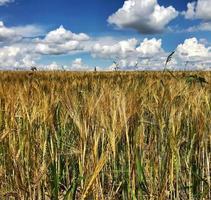 champ labouré pour le blé épillet dans un sol brun sur la nature de la campagne ouverte photo