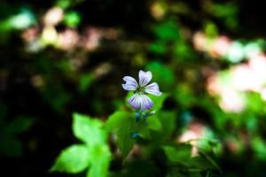 fleur de géranium noueux photo