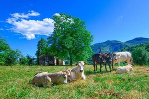 Troupeau de vaches paissant sur les préalpes de Bergame en Italie photo