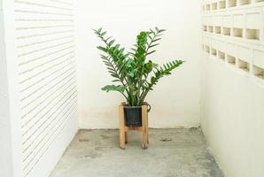 gemme de zanzibar, palmier aroïde ou fougère arum photo