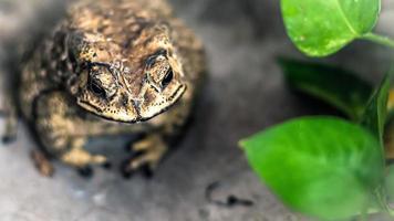 portrait de crapaud de grand amphibien dans l'habitat naturel photo