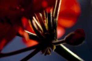 Détails des fleurs de géranium dans un jardin de Madrid, Espagne photo