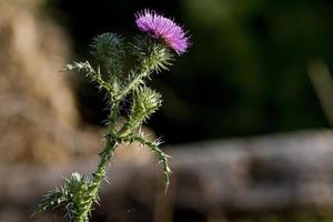 chardon, fleur d'un arbuste épineux, province du lot, france photo