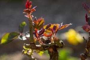pousse des roses au printemps, madrid espagne photo