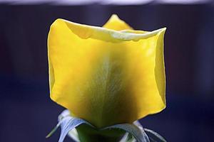 bouton de rose jaune dans un jardin de madrid, espagne photo
