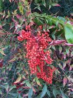 arbuste d'églantine avec ses fruits rose, en espagne photo