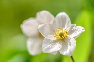 belles fleurs blanches sur fond de plantes vertes. fond d'été photo
