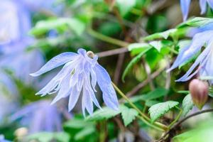 belles fleurs bleues sur fond de plantes vertes. fond d'été photo