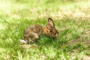 petit lièvre gris sur l'herbe juteuse verte dans un pré photo