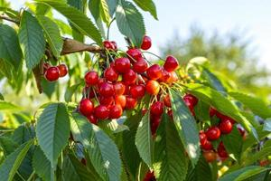 branches avec des fruits cerises rouges sur fond de ciel bleu photo