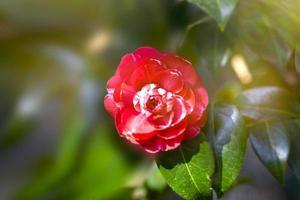 fleur de camélia rouge sur fond vert flou photo