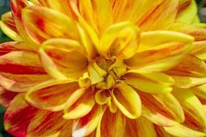 gros plan fleur de dahlia dans la nature photo