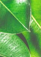 feuilles de ficus elastica avec des gouttes d'eau bouchent fond nature photo