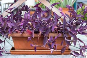 plante coeur violet en pot de fleurs photo