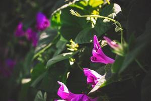 fond floral de fleurs de gloire du matin photo