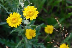 fleur avec bourgeon jaune et pétales photo