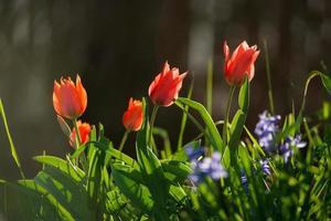 jonquilles et tulipes dans les rayons du soleil couchant. ville fleurie de strasbourg, printemps. photo