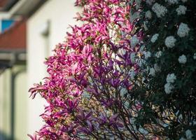 magnolias en fleurs dans les vieux quartiers de strasbourg, printemps chaud et ensoleillé. photo