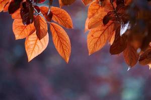 feuilles d'arbre rouge dans la nature en saison d'automne fond rouge photo