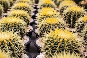 cactus en pots photo