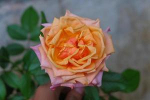 une photo en gros plan d'une rose en deux couleurs, orange et rose