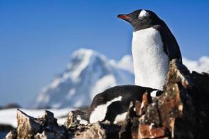 deux pingouins sur un rocher photo