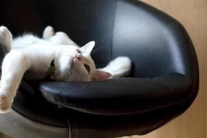 chat blanc paresseux photo