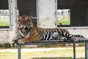 tigre dans le zoo photo