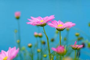 fleurs de cosmos rose sur fond bleu photo