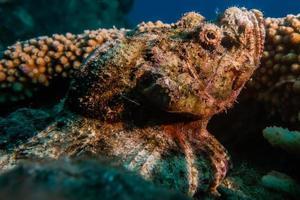 Octopus king of camouflage dans la mer rouge, eilat israël photo