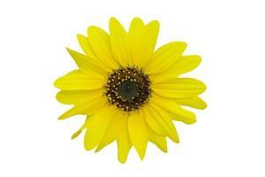 Chrysanthème jaune isolé sur fond blanc photo