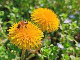 petite abeille ouvrière sur une fleur jaune photo