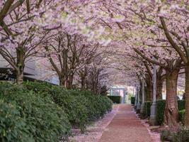 tunnel de cerisiers en pleine floraison photo