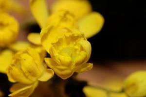 Fleur fleur jaune berberis aquifolium famille berberidaceae libre photo