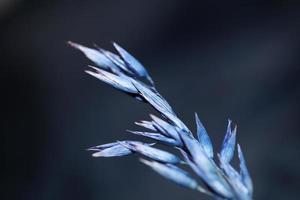 Blé décor sec coloré en bleu triticum aestivum famille poaceae photo