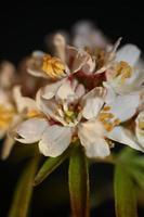 fleur fleur gros plan choisya ternata kunth famille rutacées posters photo