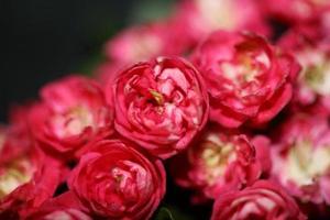 Fleur fleur close up crataegus laevigata famille rosaceae botanique photo