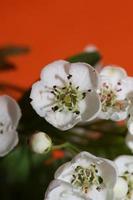 Fleur fleur close up crataegus monogyna famille rosaceae botanique photo