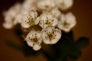 Fleur fleur close up dans la famille des rosacées crataegus monogyna macro photo