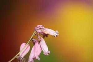 Fleur fleur close up dicentra formosa famille papaveraceae photo
