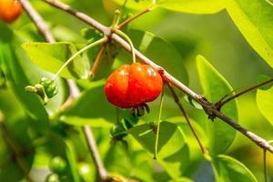 fruit pitanga très apprécié et consommé au brésil. photo