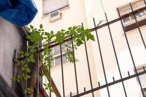 plante connue sous le nom de jasmin de madagascar photo