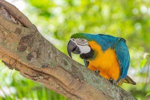 Ara à poitrine jaune sur un tronc d'arbre à Rio de Janeiro, Brésil photo