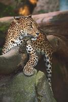 Le léopard de Ceylan reste sur l'arbre photo