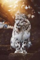 léopard des neiges panthera uncia détail portrait photo