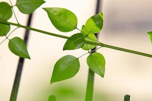 feuilles de jasmin de Madagascar photo